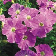 Picobella™ Light Lavender (Petunia/pelleted/milliflora)