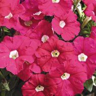 Picobella™ Rose (Petunia.pelleted/milliflora)