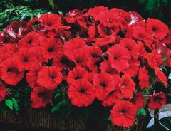 Picobella Red (Petunia/pelleted/Milliflora)