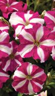 Picobella™ Rose Star (Petunia/pelleted/milliflora)