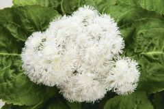 High Tide™ White (Ageratum/pellets/hybrid)