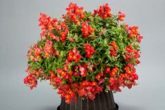 Candy Showers Orange (Snapdragon/dwarf/trailing)