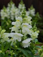 Candy Tops White (Snapdragon/Trailing/Pelleted)