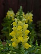 Candy Tops Yellow (Snapdragon/Trailing/Pelleted)
