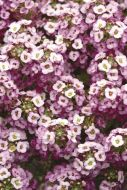 Clear Crystals Lavender Shades (Alyssum Pellets)