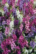Serena Mix (Angelonia)