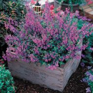 Serena Purple (Angelonia)
