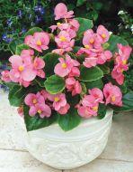 Bada Bing® Pink (Begonia pellets/fibrous)