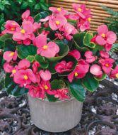Bada Bing® Rose (Begonia pellets/fibrous)