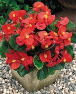 Bada Bing® Scarlet (Begonia pellets/fibrous)