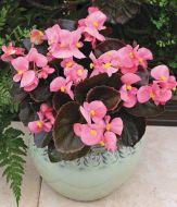 Bada Boom® Pink (Begonia pellets/fibrous)