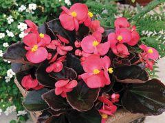 Bada Boom® Rose (Begonia pellets/fibrous)