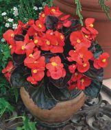 Bada Boom® Scarlet (Begonia pellets/fibrous)