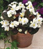 Bada Boom® White (Begonia pellets/fibrous)