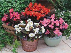 Bada Boom® Mix (Begonia pellets/fibrous)
