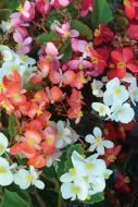 BabyWing Mix (Begonia pellets/fibrous)