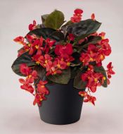 Big Red with Bronze Leaf (Begonia pellets/fibrous)