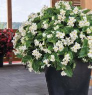Big White with Green Leaf (Begonia pellets/fibrous)