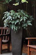 Gryphon (Begonia pellets/tuberous)
