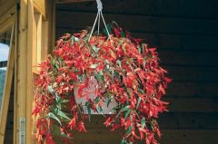 Santa Cruz (Hybrid Begonia Pellets)