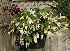 Santa Barbara (Hybrid Begonia Pellets)