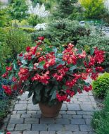 Dragon Wing Red (Begonia pellets/fibrous)