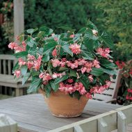 Dragon Wing Pink (Begonia pellets/fibrous)