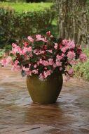 Megawatt Pink Bronze Leaf (Hybrid Begonia Pellets)