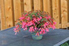 Bossa Nova Rose (Begonia Pellets)