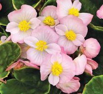 Sprint Plus Appleblossom (Hybrid Begonia Pellets)