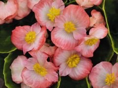 Sprint Plus Blush (Hybrid Begonia Pellets)