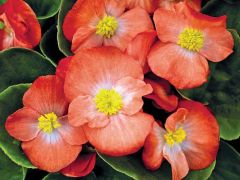 Sprint Plus Orange (Hybrid Begonia Pellets)