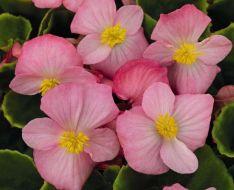 Sprint Plus Pink (Hybrid Begonia Pellets)
