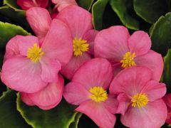 Sprint Plus Rose (Hybrid Begonia Pellets)