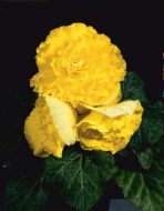 Nonstop Yellow (Begonia pellets/tuberous)