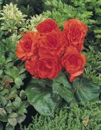 Nonstop Orange (Begonia pellets/tuberous)