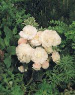 Nonstop Appleblossom (Begonia pellets/tuberous)