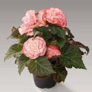 Nonstop Rose Petticoat (Begonia pellets/tuberous)