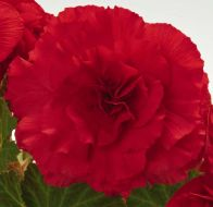 Nonstop Red (Begonia pellets/tuberous)