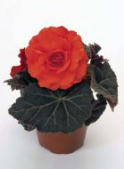 Nonstop Mocca Deep Orange (Begonia pellets/tuberous)