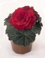 Nonstop Mocca Scarlet (Begonia pellets/tuberous)
