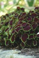 Chocolate Mint (Coleus/pelleted)