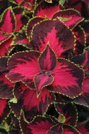 Chocolate Covered Cherry (Coleus/pelleted)