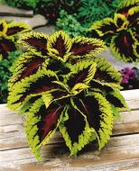 Kong Rose (Coleus Pellets)