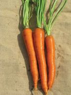 SV2384DL (Carrot/hybrid/pelleted)