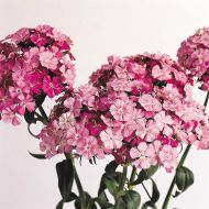 Amazon Rose Magic (Dianthus)