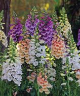 Dalmatian™ Mix (Digitalis/pelleted)