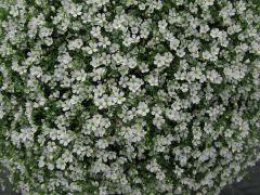 Gypsy White (Gypsophila Pellets)