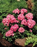 Grammy Pink & White (Phlox/primed seed)