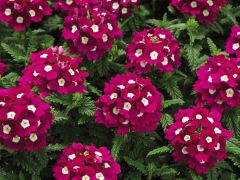 Tuscany Burgundy with Eye (Verbena/primed)